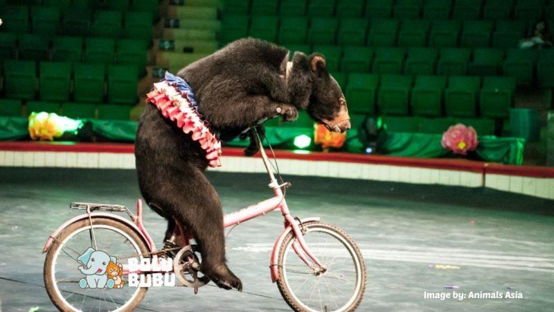 menyelamatkan beruang sirkus