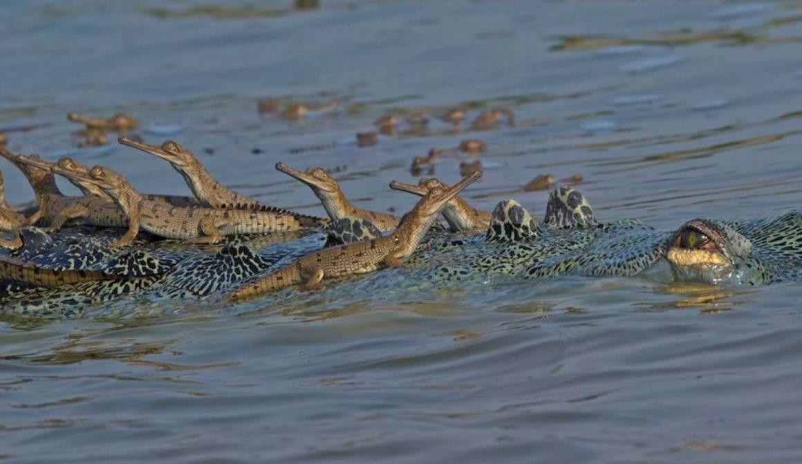 induk gharial dan anaknya