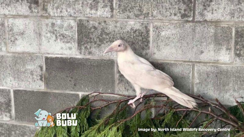 burung gagak leusistik