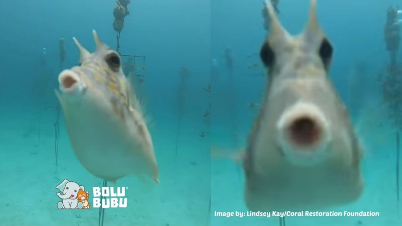 cowfish kisses underwater camera