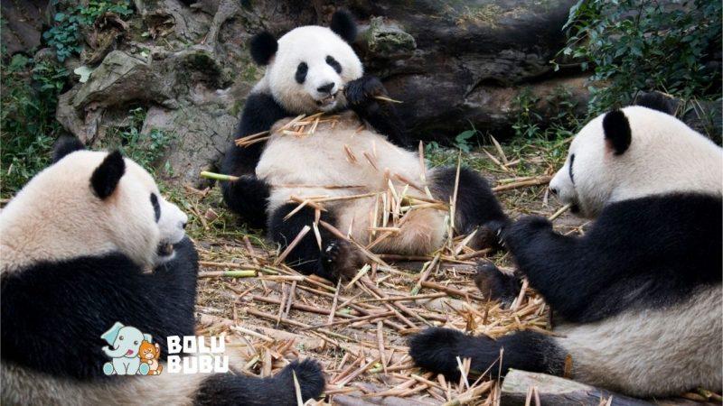 konservasi panda raksasa
