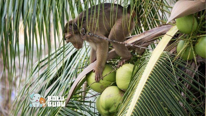 monyet memetik kelapa