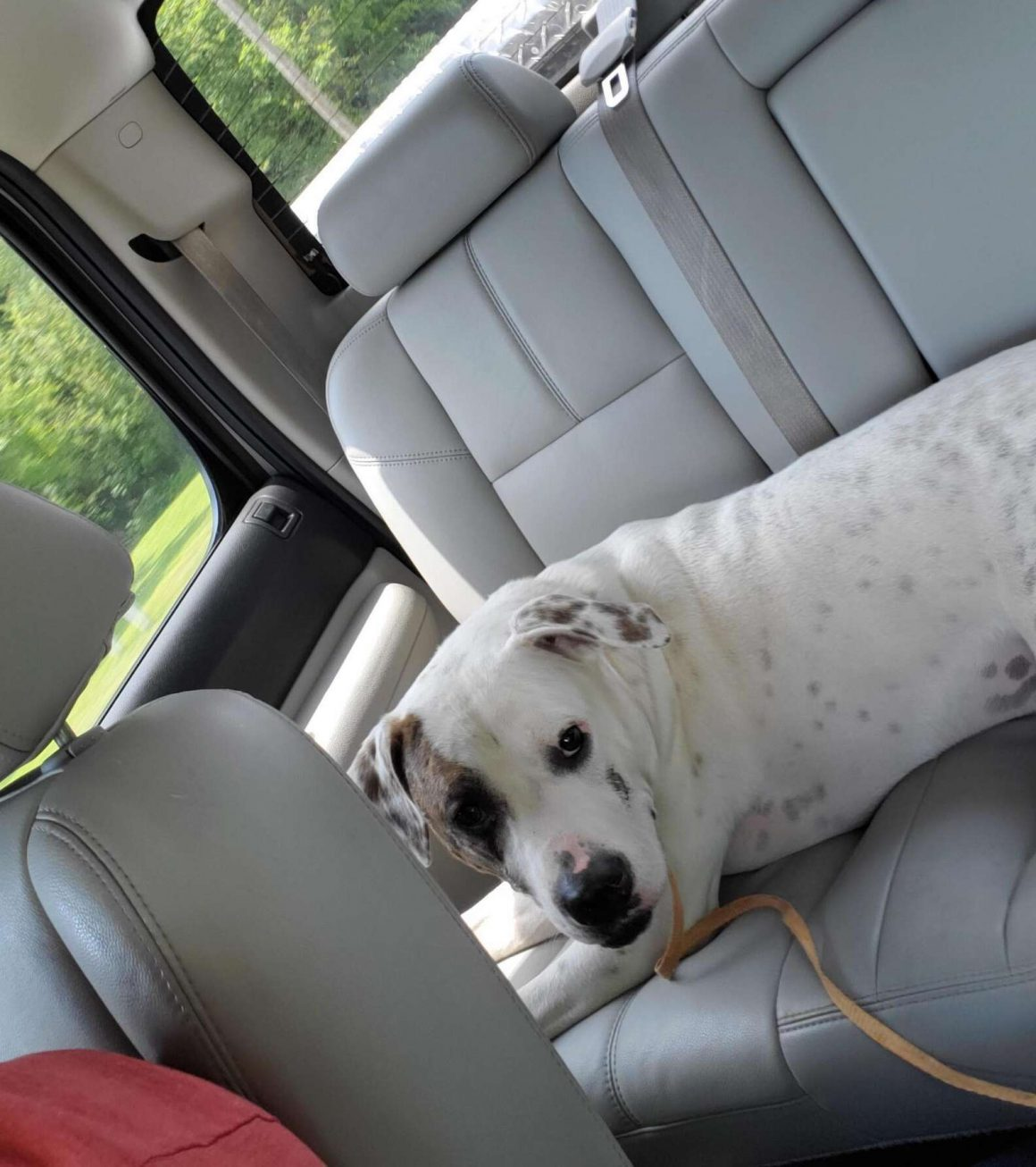 anjing pittie di dalam mobil