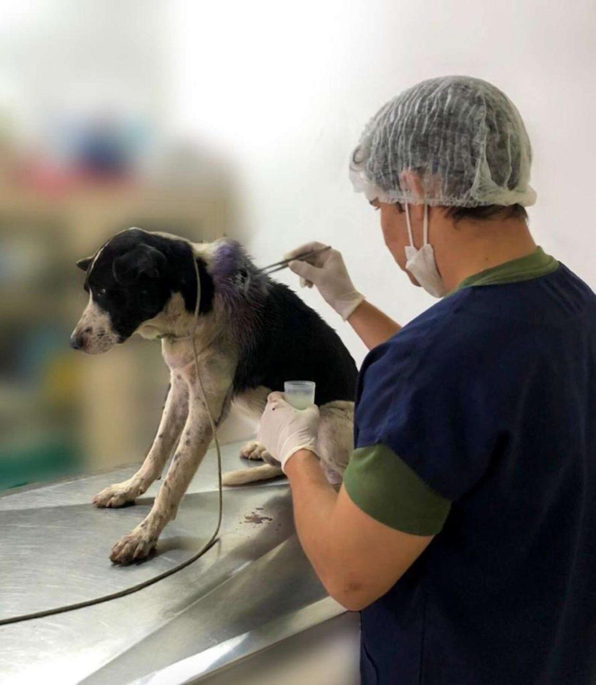 anjing liar dan dokter hewan