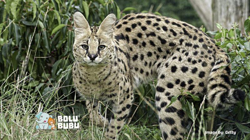serval kucing liar asal afrika