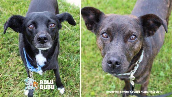 dua anjing hitam adopsi